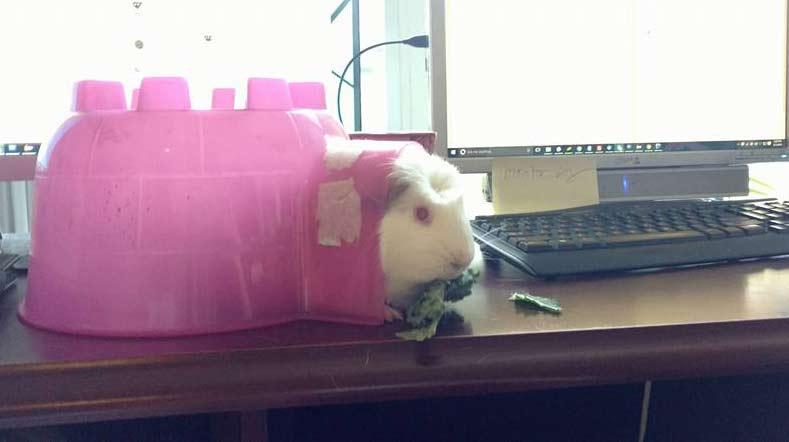 A guinea pig sits on a desk, calmly eating kale.