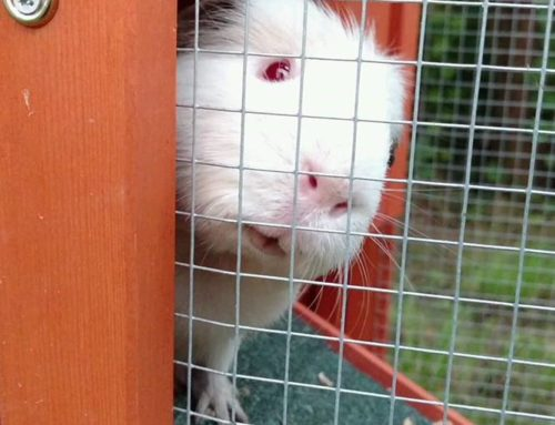 How Guinea Pigs Can Help With Sales & Customer Service