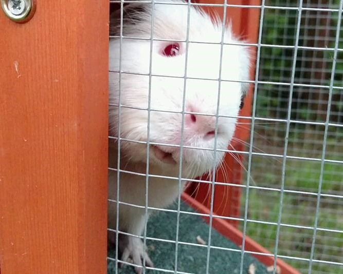 A white guinea pig peers out of a tiny wooden house, tilting its head cutely.